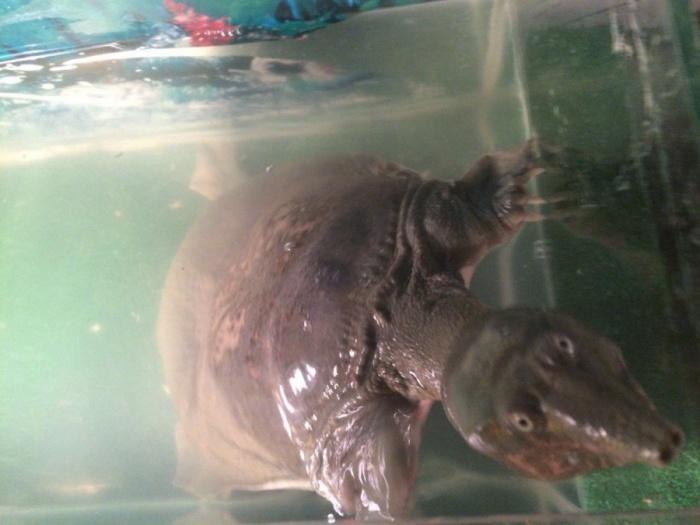Редкая черепаха Трионожка вернулась домой спустя двое суток после побега