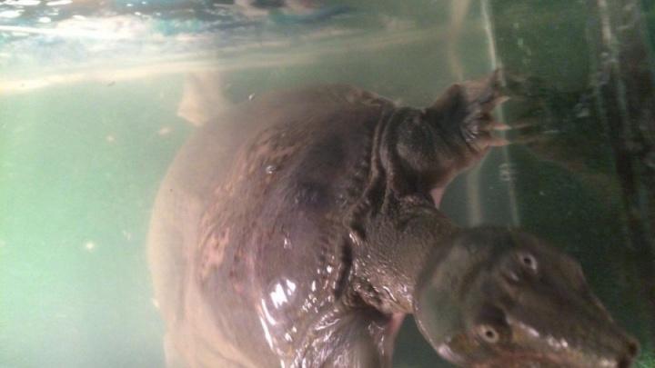 За найденной в Пашино редкой черепахой приехала любящая хозяйка