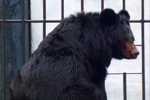 Медведи в зоопарке засыпать на зиму начали месяц назад