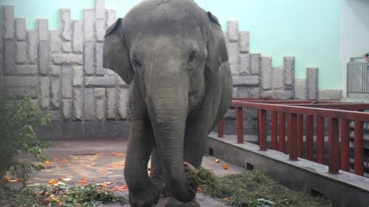 Перед слонихой Дашей в зоопарке Екатеринбурга выступят артисты Оперного театра