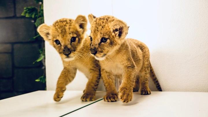 «Инстинкты еще не проснулись»: екатеринбуржец забрал львенка из зоопарка и сдает его для фотосессий