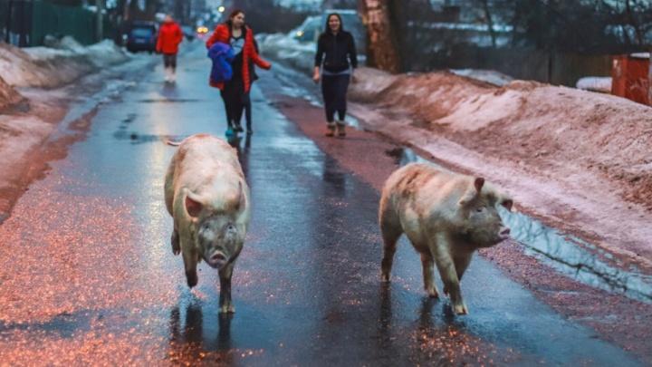 «Гуляли допоздна»: ярославцев умилили два хряка, шагающих по городу