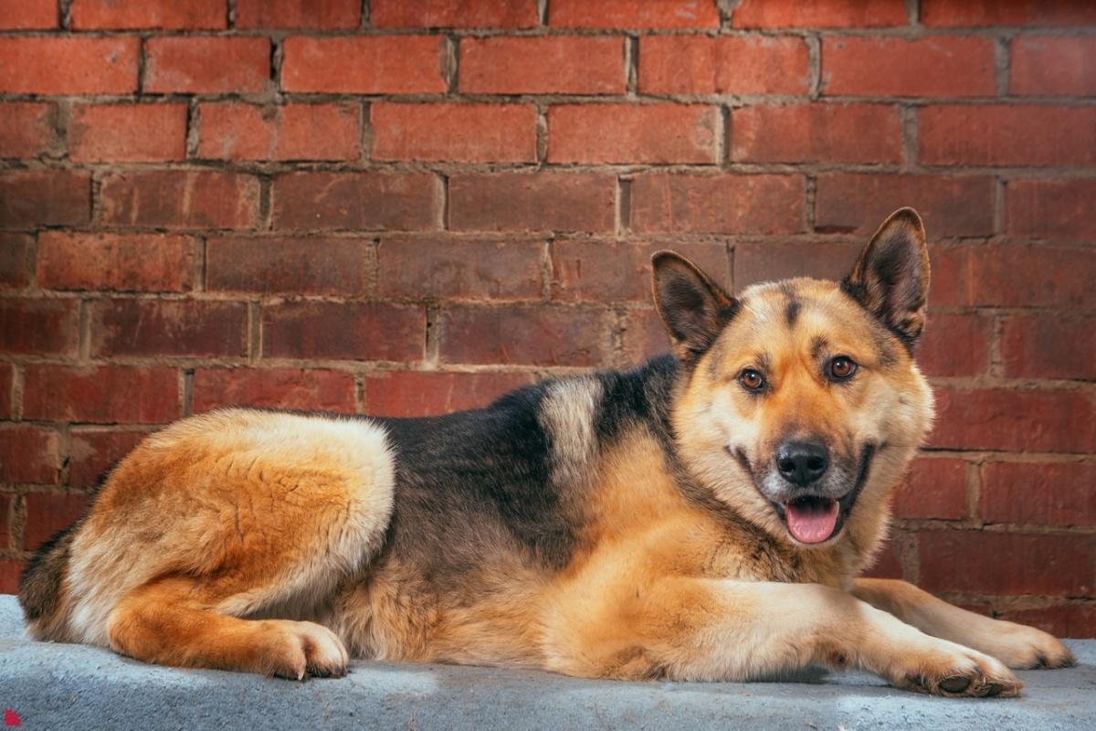 Скифу примерно 2 года. Он приехал после стационара клиники «Здоровье Животных»