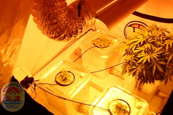 Мужчина заботливо следил за температурой в лаборатории и признаками цветения конопли