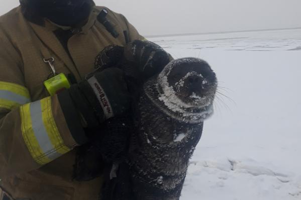 Тюленёнок не мог самостоятельно добраться по льду до воды