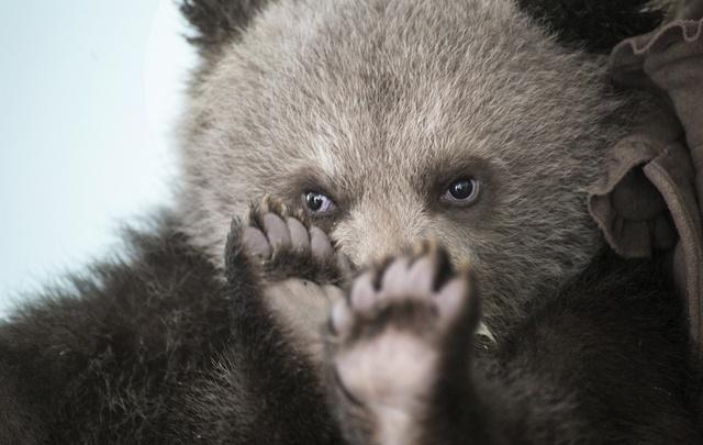 В Уфимском вольере родились четыре медвежонка