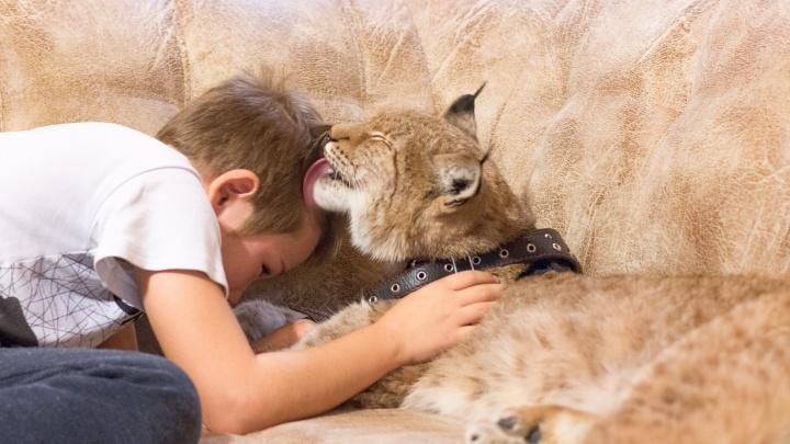 Рысь Таю перевезли из многоэтажки на Красной Глинке в частный зоопарк в Чечне