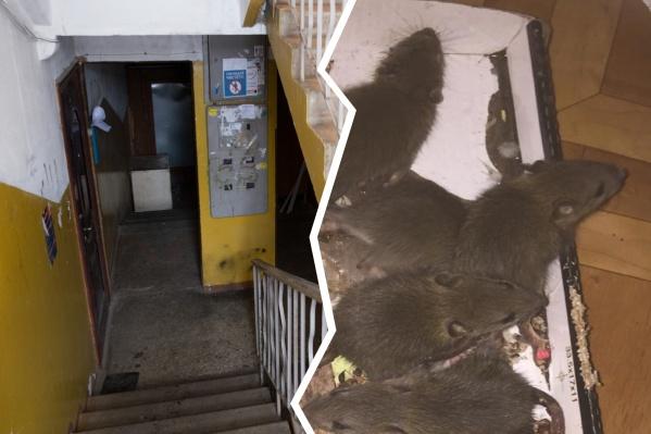 Целый выводок крыс увидели в подъезде