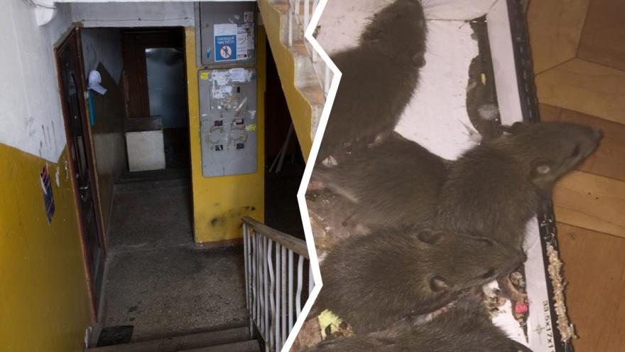 Они лезут в квартиры: крысы атаковали дом в Брагино