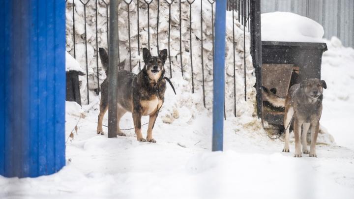 Собаки, которые загрызли тойтерьера на Бажова, перед этим напали на мужчину с корги