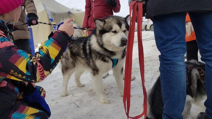 Под Новосибирском провели фестиваль с катанием на собачьих упряжках