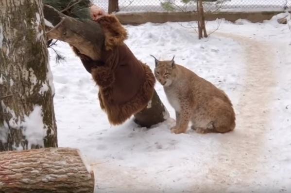 Рысь пытается содрать дубленку с дерева
