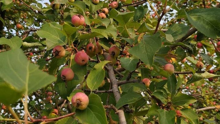 Красноярцы начали собирать яблоки на острове Татышеве и делать из них пироги