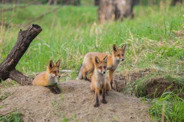 Впервые лису заметили на острове Татышев в 2015 году