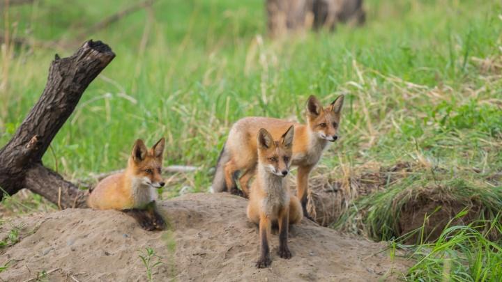 Рыжие бестии нашли дом на Татышеве: рассказываем про очаровательных лисичек