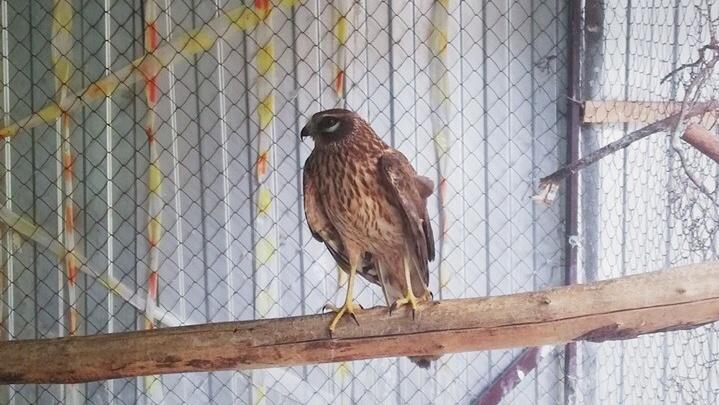 Видео: новосибирцы выпустили на волю хищную птицу-паникёра