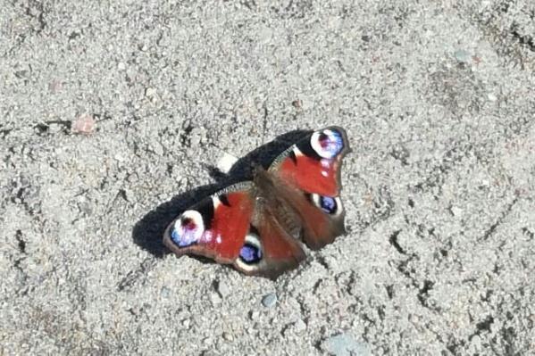 Бабочку павлиний глаз заметили на улице Холодильной в Заельцовском районе