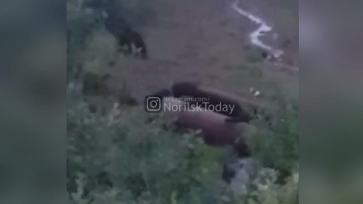 Храбрый пёс отогнал медведя с дачи хозяина