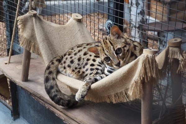 Взгляд бенгала сравнивают со взглядом кота из «Шрека»