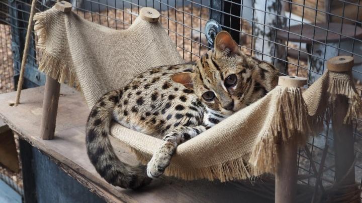 В зоопарке сфотографировали бенгала со взглядом кота из «Шрека»