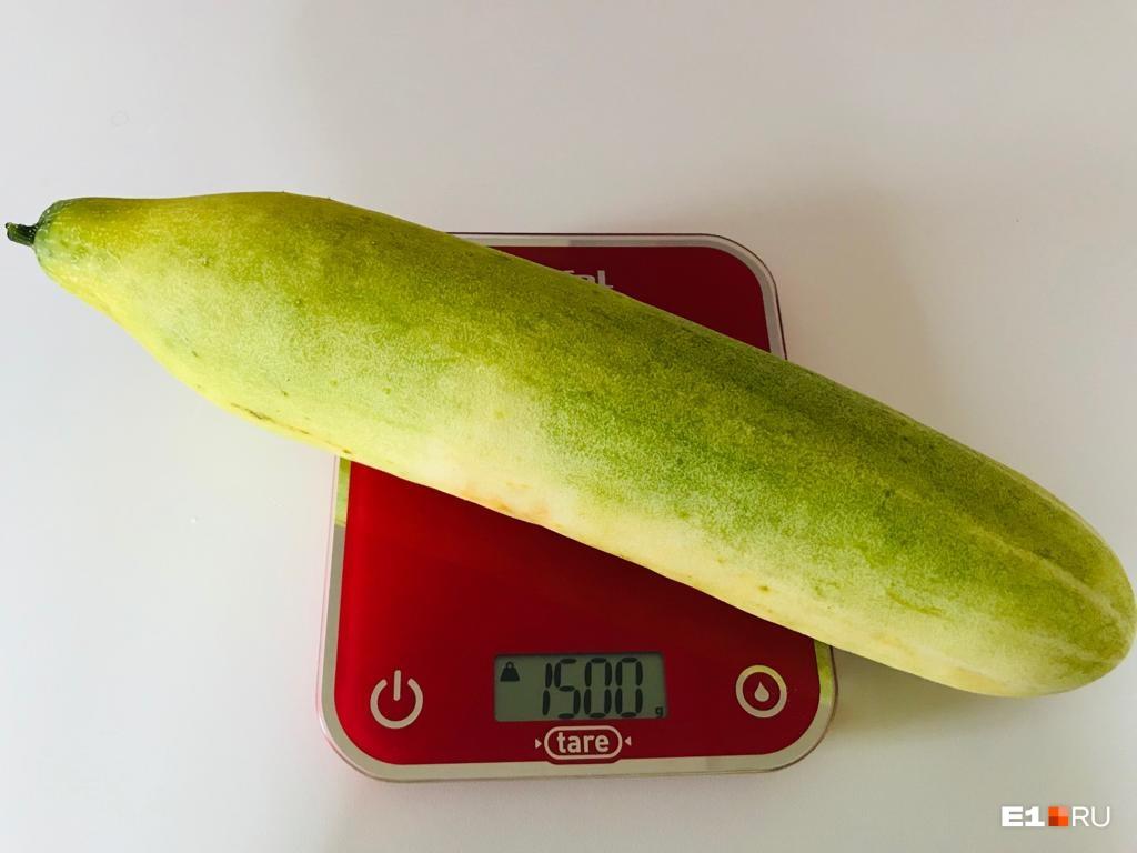 Вес огурца-гиганта— ровно 1500 граммов