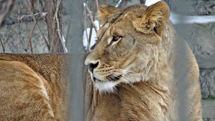 В Новосибирском зоопарке поселилась новая львица — она попала на фото посетителей
