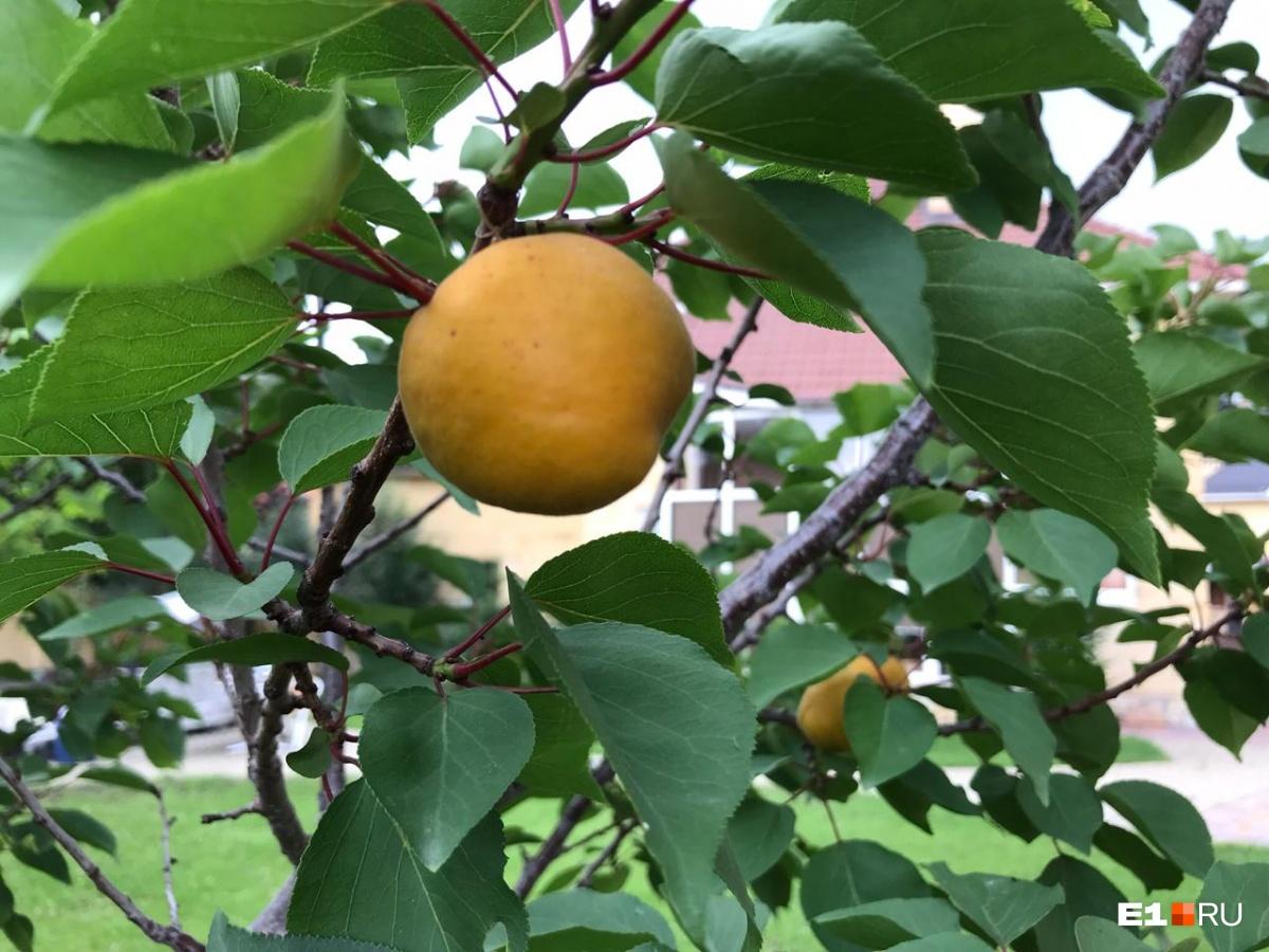 В этом году у Константина первый урожай абрикосов — зреют 17 штук!