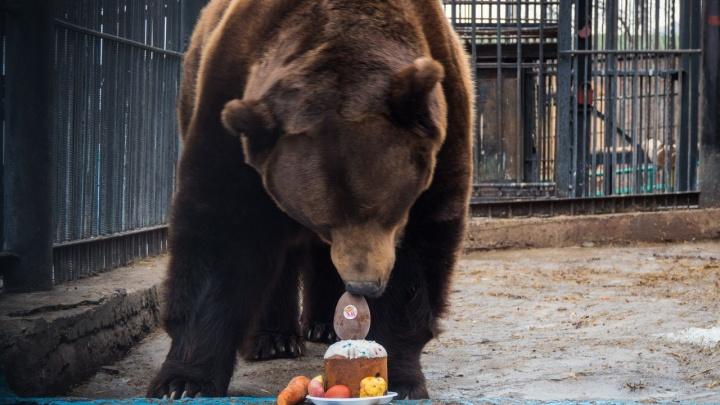 Бурых медведей в зоопарке накормили куличом