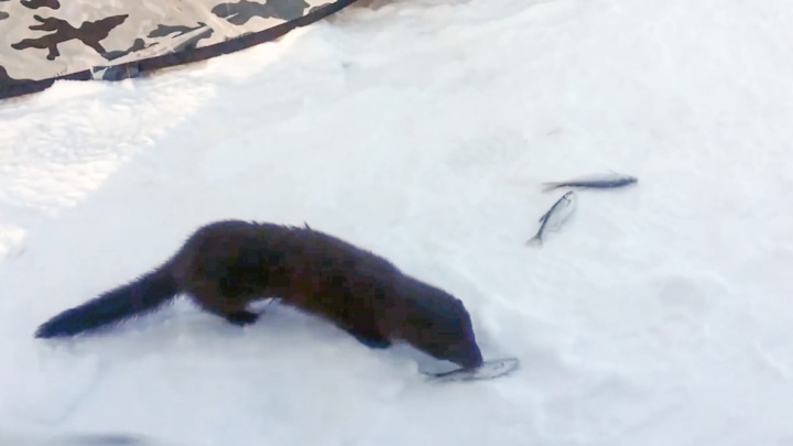 «Ну как таких на шубу?»: в Башкирии рыбаки накормили норку