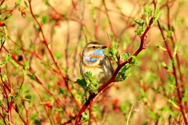Мир птиц Омской области гораздо разнообразнее, чем может казаться на первый взгляд (на фото— варакушка)