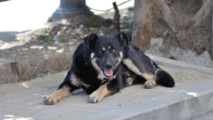 В Полевском наказали хозяйку трех злых собак, которые искусали прохожую за ноги