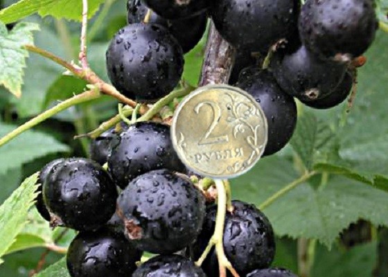 Садоводам Екатеринбурга снова представят урожайные сорта чёрной смородины, малины и крыжовника
