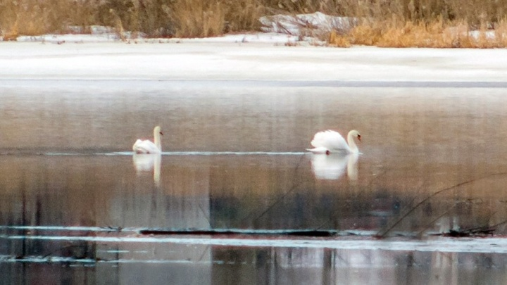 На Уктус прилетели лебеди и цапли