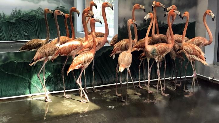 В Новосибирский зоопарк приехали 14 кубинских фламинго из Чехии