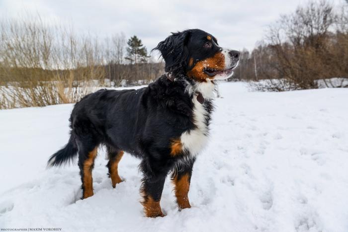 Для крупных собак много снега — это счастье