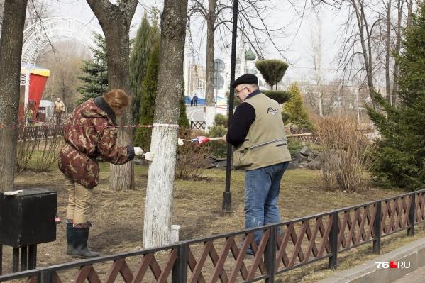 Белить стволы деревьев весной — давняя ярославская традиция
