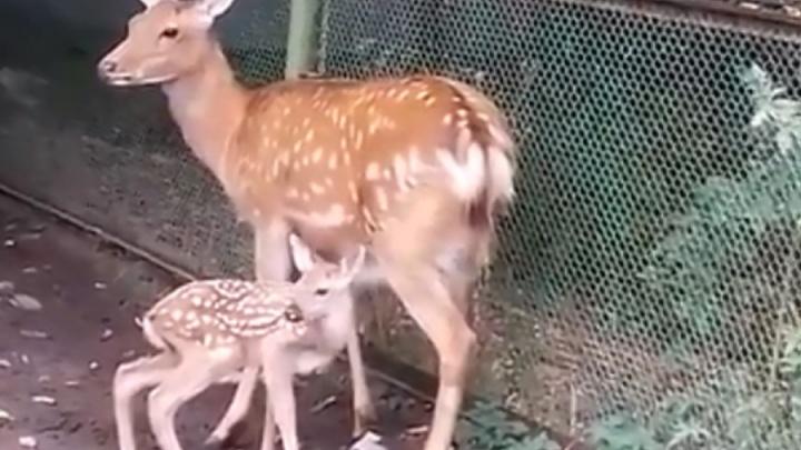 Родились в один день. В пермском зоопарке появились два «бэмби»