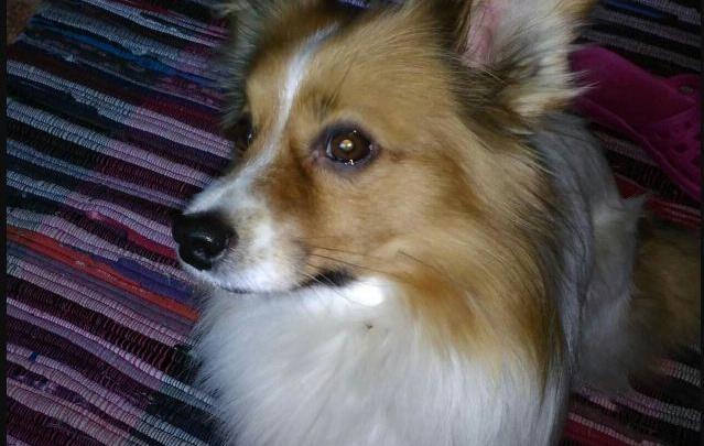 Разъяренные собаки растерзали домашнего пса в Железногорске на глазах его пожилой хозяйки