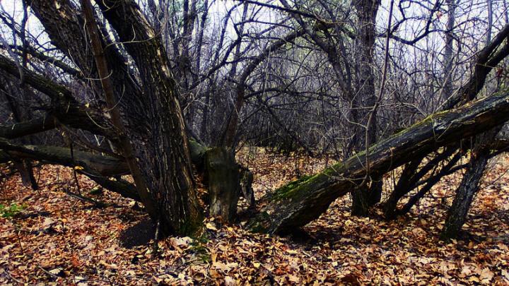 «Часть леса рискуем потерять»: челябинцев встревожило состояние городского бора