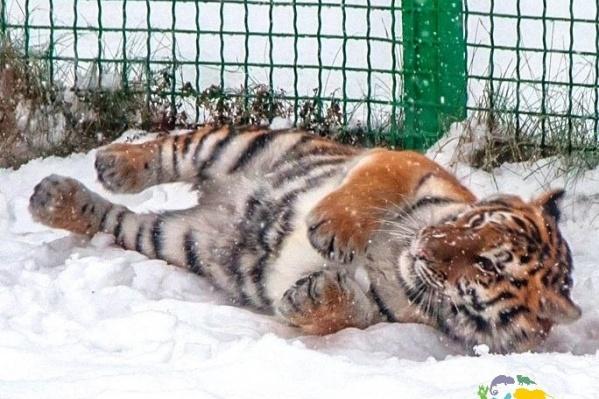 Для амурской тигрицы в Ярославле ищут жениха