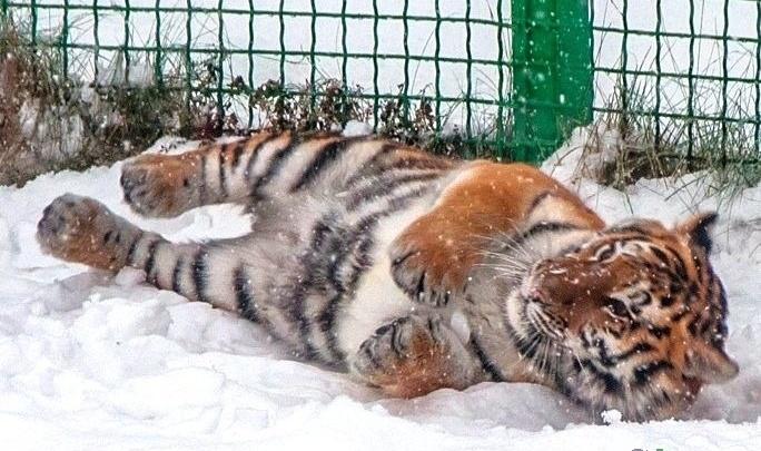 В ярославском зоопарке будут разводить амурских тигров