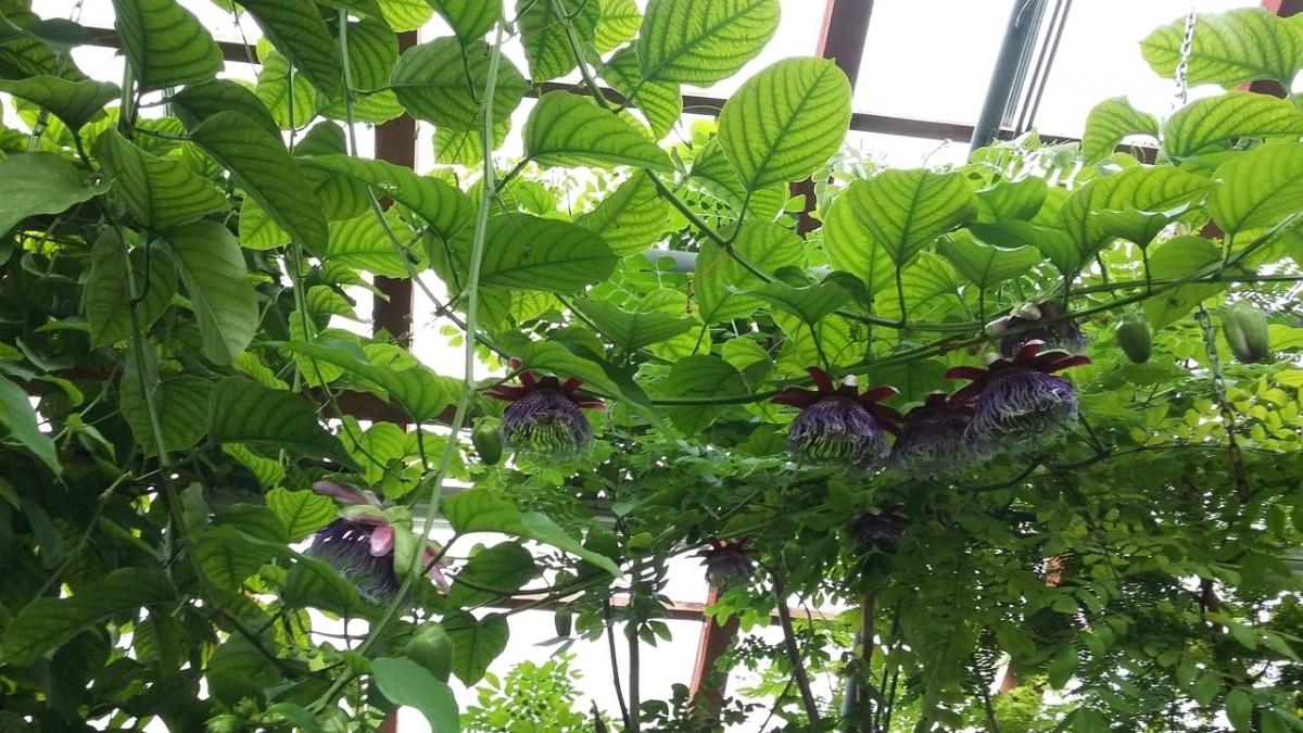 14 страстных цветков: в Ботаническом саду УрО РАН распустилась пассифлора
