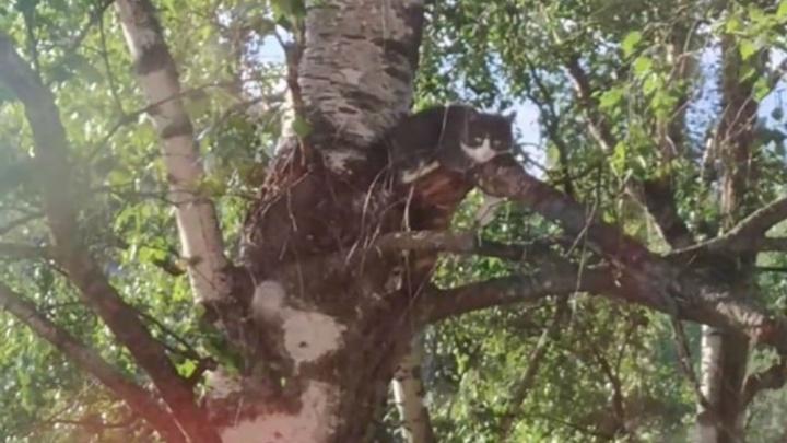 «Нам отказываются помочь»: в Брагино жители четыре дня не могут снять с дерева голодного кота