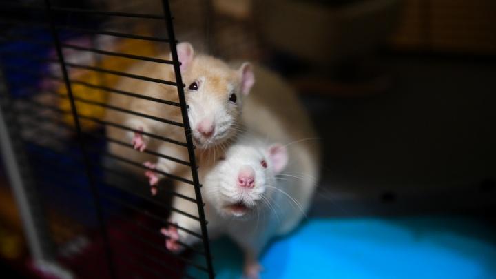 Как отличить крысу-лидера от крысы-«шестерки»? 8 вопросов про грызунов