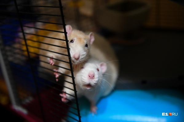 Эти крысы живут у Елены, члена клуба любителей грызунов «Рокфор»