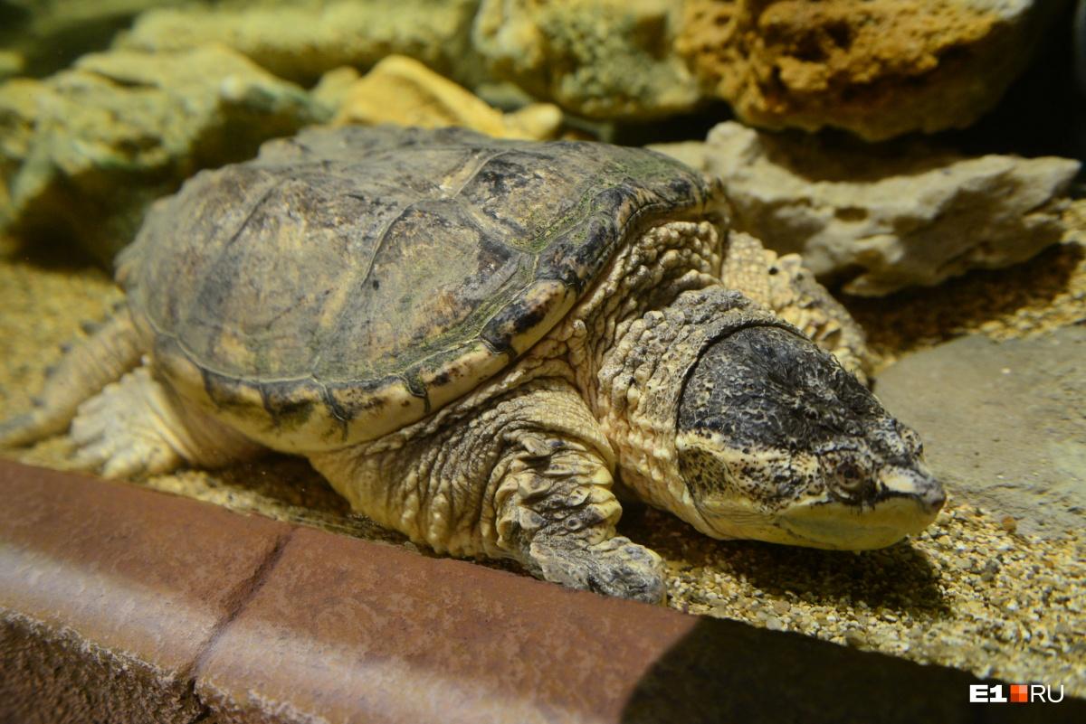 Все черепахи, представленные в экспозиции — хищные