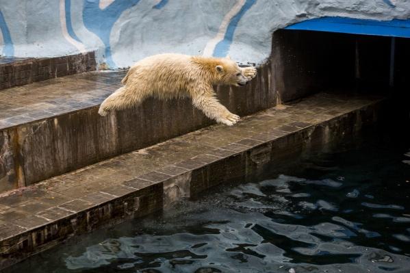 Знаменитый прыжок белого медведя в его первую осень