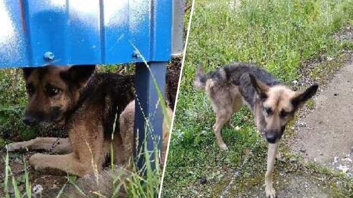 «Смотреть было страшно»: в Ярославле хозяева бросили голодного пса, привязав на цепь к остановке