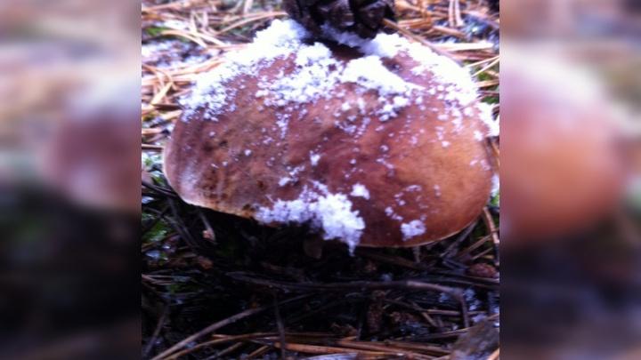 Тюменские грибники закрыли сезон тихой охоты: смотрим на их последние лесные трофеи