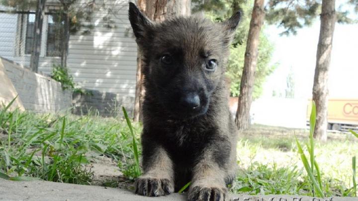 Двухмесячного щенка немецкой овчарки не приняли в полицию из-за маленького роста